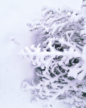 snowcovered: Snow-covered spruce tree
