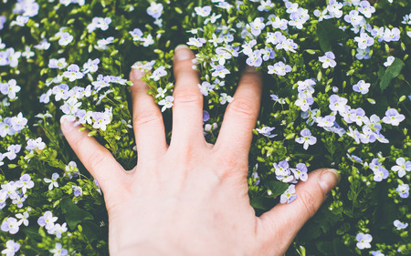 veronica flower: Hand touching beatiful little flowers of veronica plant Stock Photo