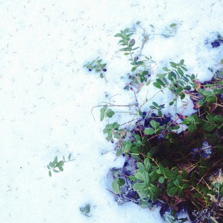 cowberry: Evergreen shrub of cowberry covered with snow