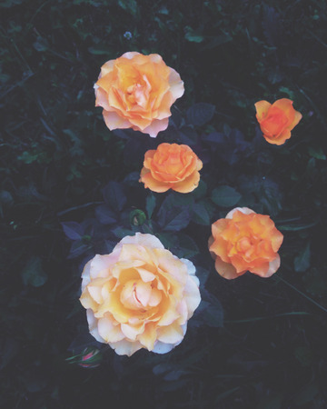 yellow roses: Rosas amarillas hermosas en jard�n Foto de archivo