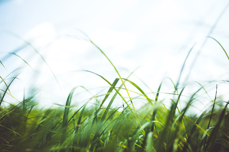carex: Fresh silky grass