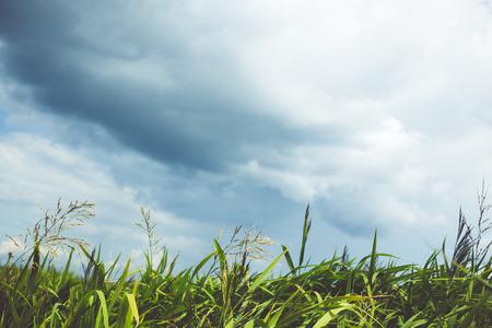 carex: Green grass and dark sky before the rain