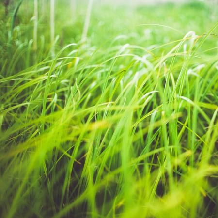 carex: Green silky grass