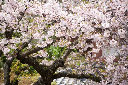 Pink blossom in temple photo