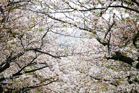 Beautiful Pink blossom in Japan photo