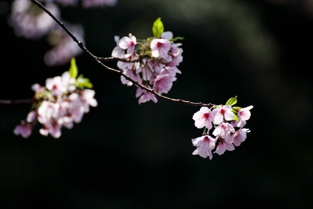 pink blossom sakura on black Stock Photo - 13751922