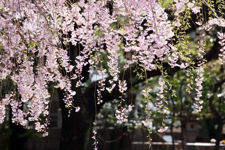 pink blossom sakura in Japan Stock Photo - 13751558