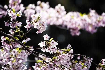 Sakura  Japanese Cherry Blossom  photo