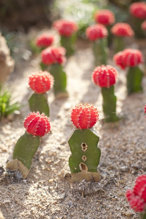 Colorful gymnocalycium Cactus garden photo