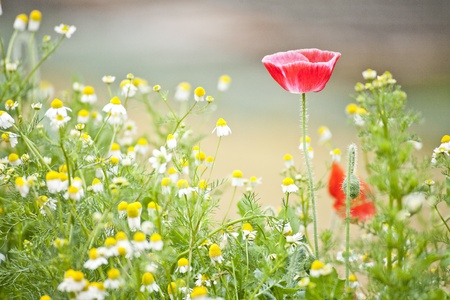 Field of poppies Stock Photo - 15205868