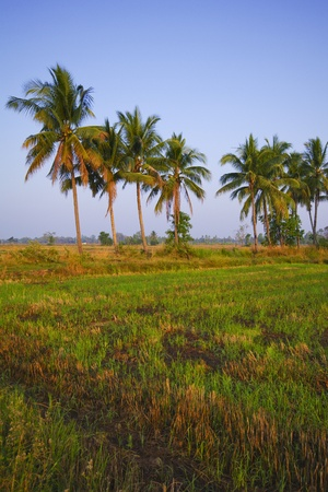 Rice field in early stage at Chiang Mai, Thailand  Coconut tree at background  photo