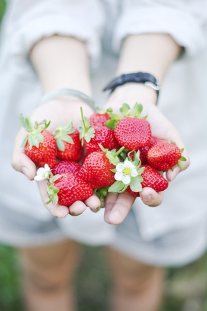 picking fingers: Fresh picked strawberries held over strawberry plants