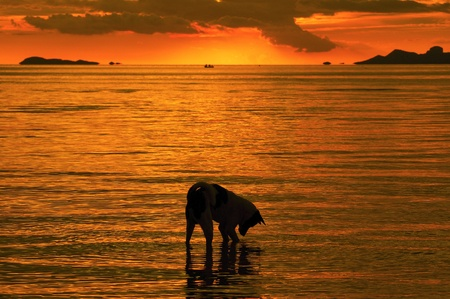 Dog playing on the beach of the Samui island, Thailand at sunset