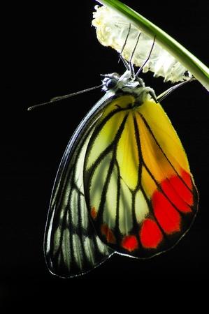 capullo: Mariposa Monarca, Mania Milkweed, bebé nacido en la naturaleza