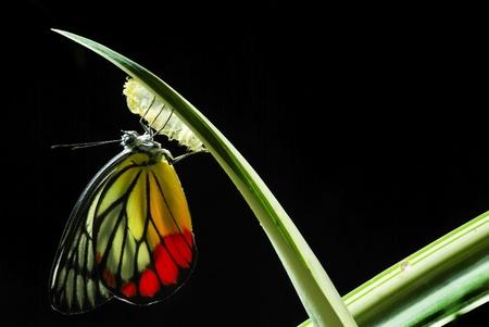 butterflies flying: Mariposa Monarca, Mania Milkweed, bebé nacido en la naturaleza