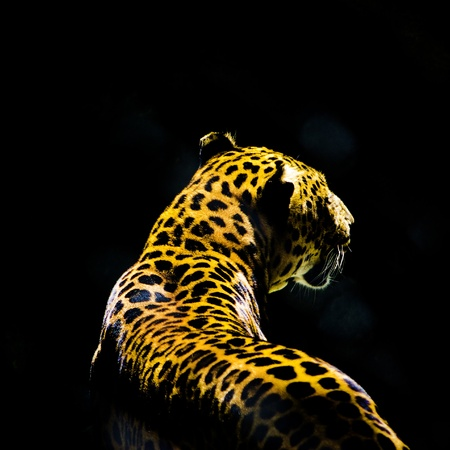 hunter playful: leopard from the dark Stock Photo