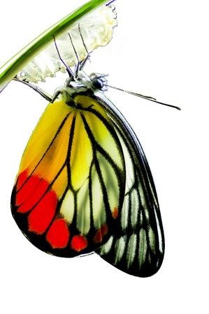 Monarch Butterfly, Milkweed Mania, Baby in der Natur geboren isoliert auf weißem Hintergrund Standard-Bild