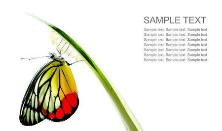metamorfosis: Mariposa Monarca, Mania Milkweed, beb� nacido en la naturaleza aislada en el fondo blanco