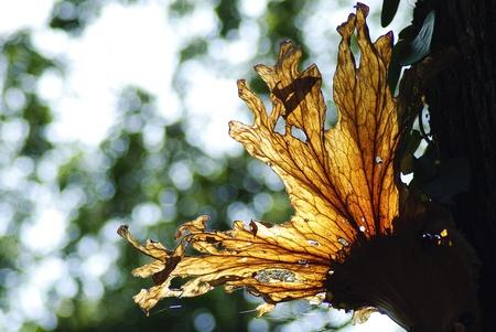 coronarium: Platycerium coronarium fern