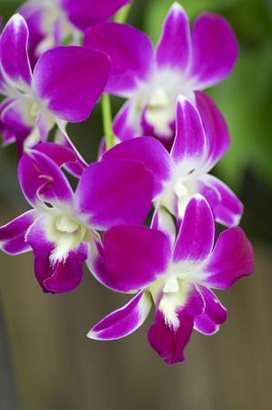 Beautiful purple orchid - phalaenopsis Stock Photo - 15154171