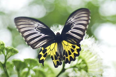 Yellow black butterfly in the nature Stock Photo - 15154204