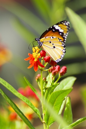 capullo: Mariposa Monarca, Mania Milkweed Foto de archivo
