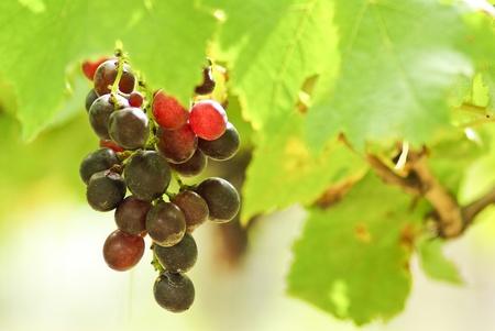 grape in garden photo
