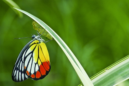 cocoon: Monarch Butterfly, Milkweed Mania, baby born in the nature