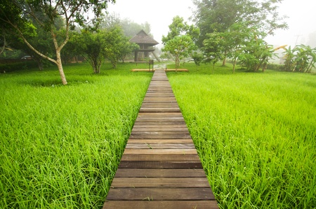 Pathway to Green rice field in  photo