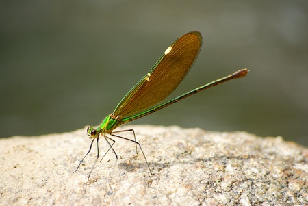 pondhawk: Eastern pondhawk dragonfly, Erythemis simplicicollis, on a rock Stock Photo