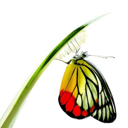 capullo: Mariposa Monarca, Mania Milkweed, bebé nacido en la naturaleza aislada en el fondo blanco