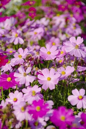 cosmos flowers: Pink cosmos flowers Stock Photo