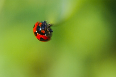 Ladybug (Ladybird) Crawling on Green Grass Stock Photo - 17158947