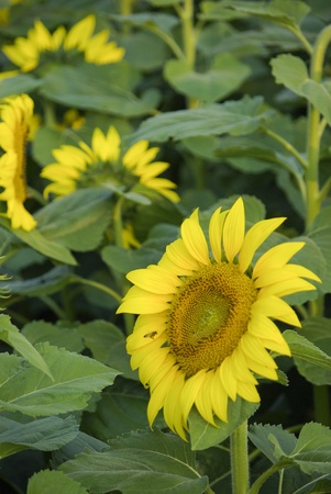 Sun flowers Plant Stock Photo - 17188962