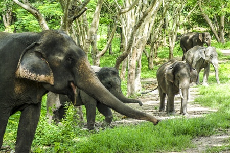 aisa: Asian elephant in forest Stock Photo
