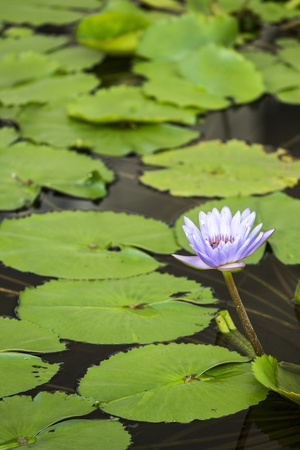 Lotus. Water lily flower photo