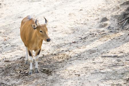 red heifer: Vaca roja en la granja Foto de archivo