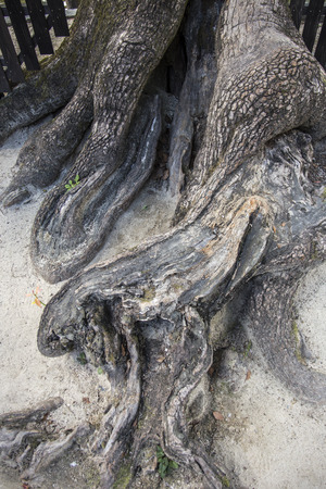 Pattern of tree root photo