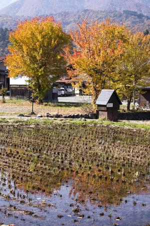 ogimachi: Cottage and rice field in small village shirakawa-go japan. autumn season Stock Photo