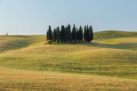 san quirico: Group of cypresses, Tuscany, Italy