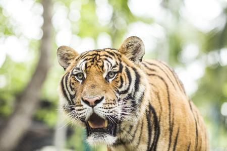 panthera tigris: Close up Tiger in jungle the danger animal. Stock Photo