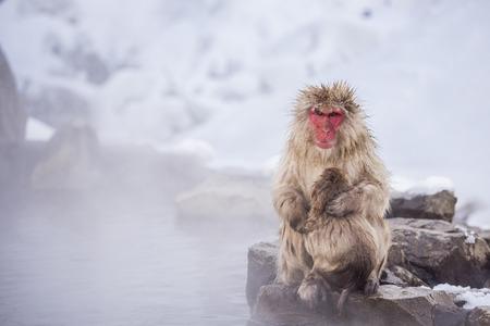 hot springs: Jigokudani snow monkey bathing onsen hotspring famous sightseeing in Japan. Stock Photo