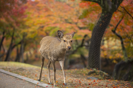 asia deer: Nara deer roam free in Nara Park, Japan