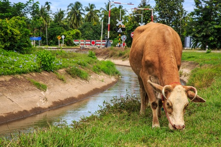 A cow is eating grass rural Thailand photo