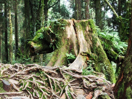deep roots: tree trunk with roots in rain forest Stock Photo