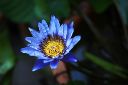 blue lotus photo