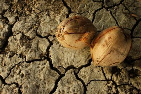 balsa: droge kokosnoot op de grond