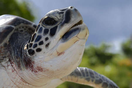 galapagos: Sea Turtle head closeup