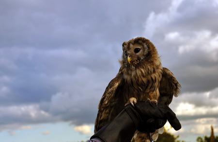 domesticated: Domesticated Owl. Portrait Stock Photo