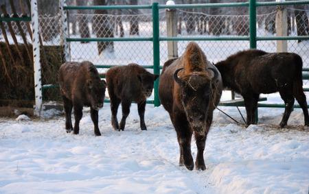 herbivores: Angry Bison Stock Photo